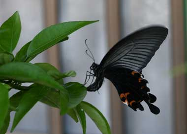 幼虫 クロアゲハ の アゲハの幼虫の見分け方